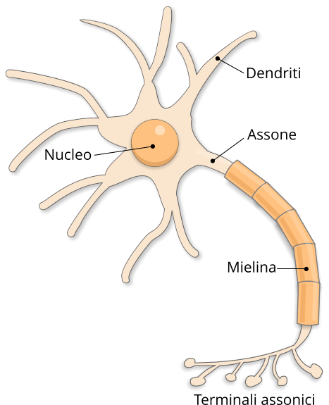 neurone struttura
